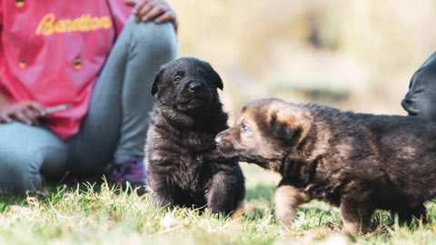 How to Socialise Puppies (Photo by Anna Dudkova on Unsplash