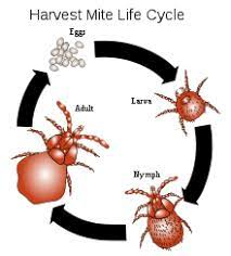Harvest Mite Life Cycle