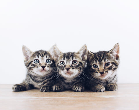 How much should I feed my Kitten?