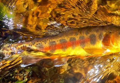 Under the Surface: Rainbow trout conservation and pride in the outdoors