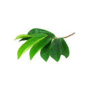 Graviola Soursop-Mulseetha Leaves