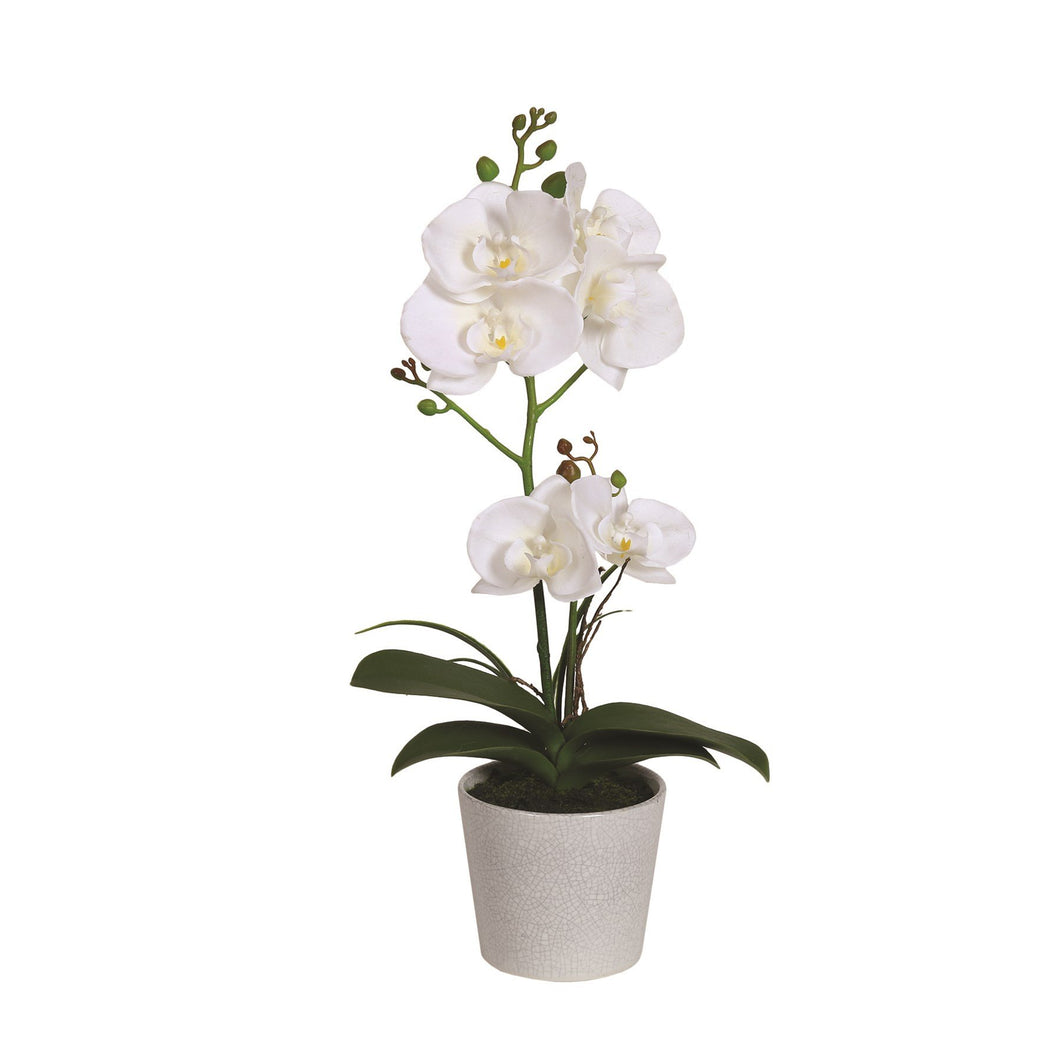 White Orchid in Pot 42cm - Beattys of Loughrea , www.beattys.ie
