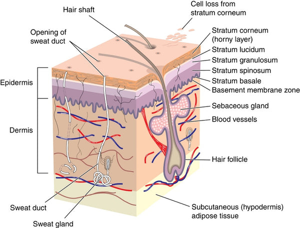 Anatomy of Your Skin & Some of its Properties | Azurlis® Natural ...