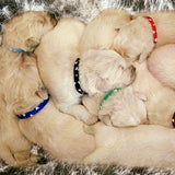 Wagging Tailz Puppy ID Bands Hearts (12 Pack)