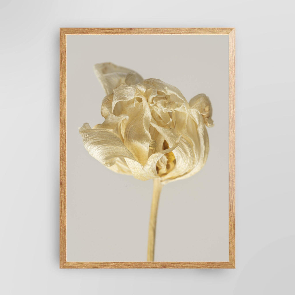 Dried Tulip Flower
