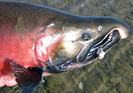 Silver salmon on a mouse!