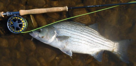 This hybrid made the reel scream and put a deep bend in the new Scott L2H Switch rod!