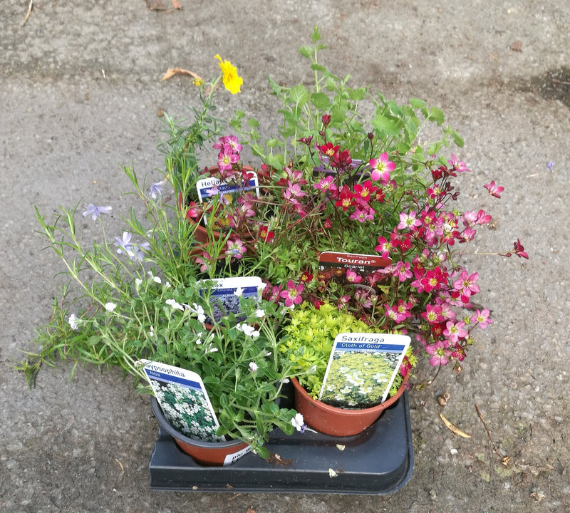 Alpines - Mixed 6 pack