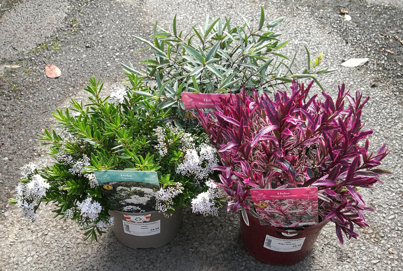 Hebes assorted varieties 2L