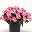 New Guinea Impatiens - 4.5""