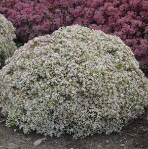 Sedum Rock 'N Grow 'Bundle of Joy' - Stonecrop