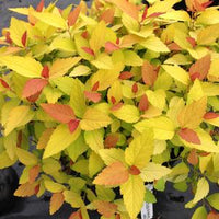 SPIRAEA JAPONICA DOUBLE PLAY `CANDY CORN`