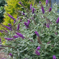 Butterfly Bush Miss Violet (Buddleia)