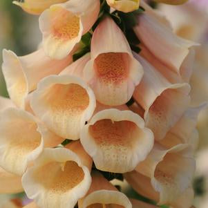DIGITALIS PURPUREA 'DALMATION PEACH' FOXGLOVE