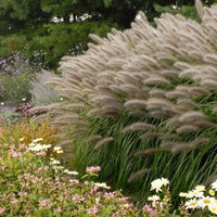 FOUNTAIN GRASS (PENNISETUM ALOPECUROIDES) `RED HEAD `