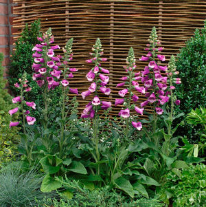 DIGITALIS PURPUREA 'DALMATION PURPLE' FOXGLOVE