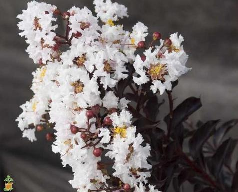 LAGERSTROEMIA `MOONLIGHT MAGIC` - Crape Myrtle