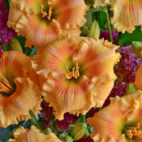 Daylily (Hemerocallis hybrid) Rainbow Rhythm 'Orange Smoothie'