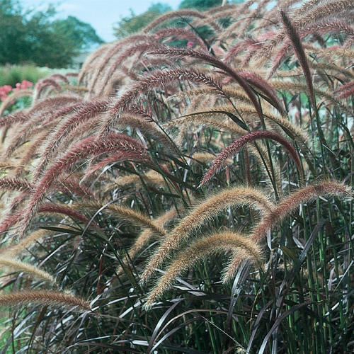 Purple Fountain Grass  (Pennisetum setaceum 'Rubrum')