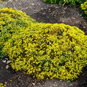 Sedum Rock 'N Grow 'Yellow Brick Road' - Stonecrop