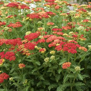 YARROW (ACHILLEA) `STRAWBERRY SEDUCTION`