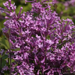 LILAC  - REBLOOMING (SYRINGA X BLOOMERANG) `PURPLE` - TREE