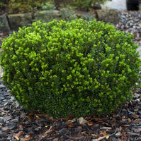 BOXWOOD (BUXUS MICRO.) `WINTER GEM`