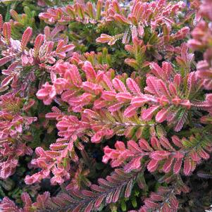 SCOTCH HEATHER (CALLUNA VULGARIS) `SPRING TORCH`
