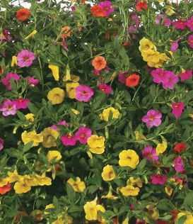 "6.5"" FoolProof CALIBRACHOA (Superbells) Mixed Annuals ""Candy Land:"