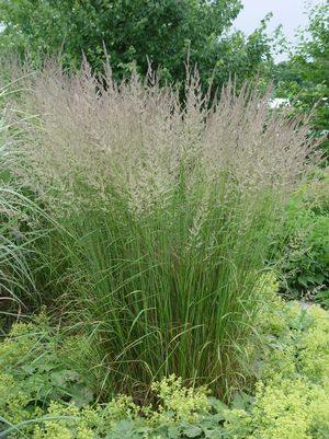 FEATHER REED GRASS (CALAMAGROSTIS ARUNDINACEA) `KARL FOERSTER`