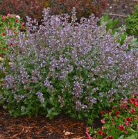 CATMINT (NEPETA) `CAT`S MEOW`