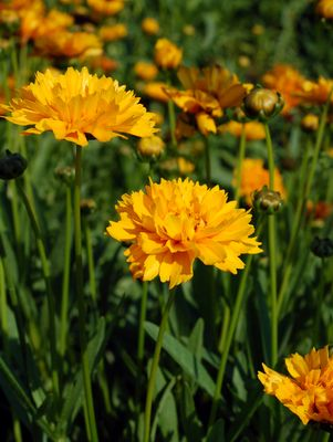 COREOPSIS GRAND. `EARLY SUNRISE` TICKSEED