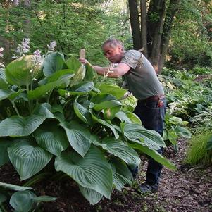 HOSTA `EMPRESS WU`
