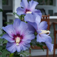 ROSE OF SHARON (HIBISCUS SYR.)  `AZURRI BLUE SATIN`