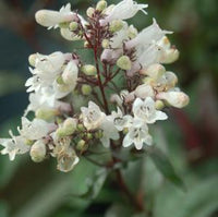 FOXGLOVE BEARDTONGUE (PENSTEMON DIGITALIS) `HUSKER RED`