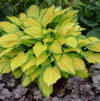 HOSTA `ISLAND BREEZE`