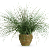 "Blue Mohawk Soft Rush Grass ""Juncus inflexus"""