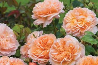 Rose David Austin 'The Lady Gardener' English Shrub Rose