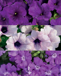 "10"" Combo""Lilac Festival"" Hanging Basket"
