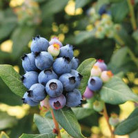 BLUEBERRY (VACCINIUM X) `PEACH SORBET`