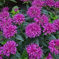 BEE BALM (MONARDA) `PARDON MY PURPLE`