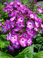 PHLOX `VOLCANO PURPLE W/ WHITE EYE`
