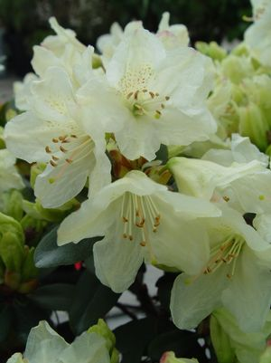 RHODODENDRON X `TOWHEAD`