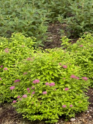 SPIRAEA JAPONICA DOUBLE PLAY `GOLD`