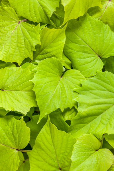 IPOMOEA – SWEET CAROLINE 'BEWITCHED GREEN WITH ENVY' - SWEET POTATO VINE
