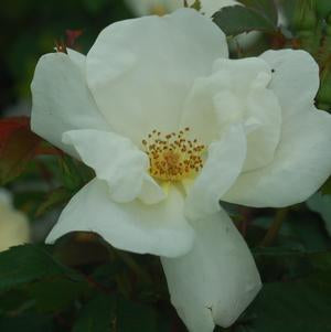 Rose 'White Knock Out'