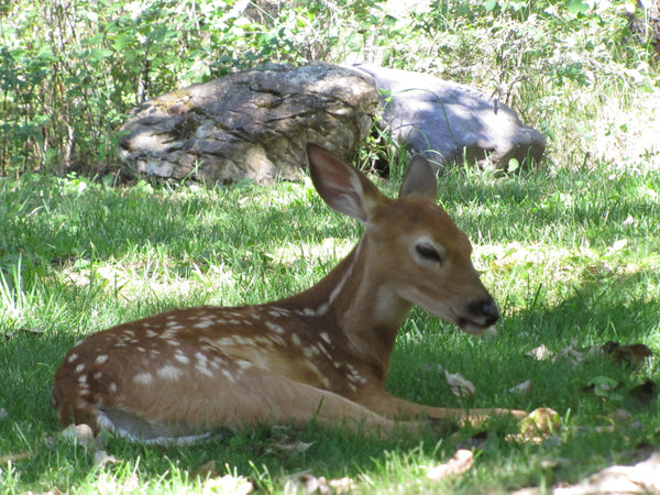 Baby Deer sitting in the shade of a tree