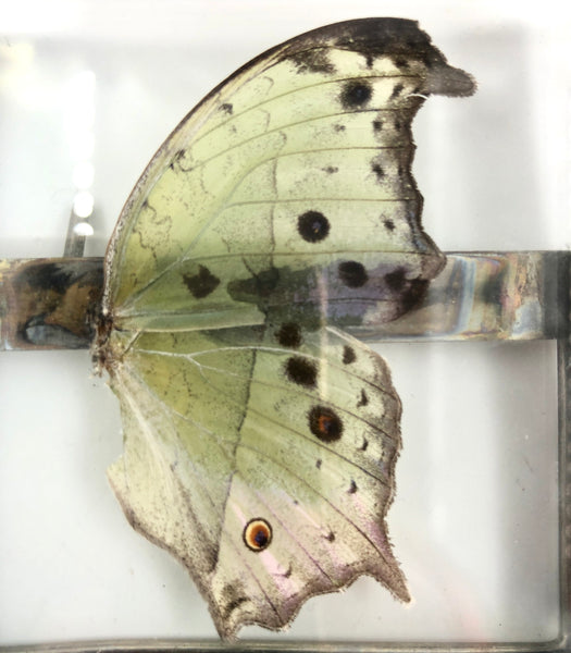 Butterfly Wing Frame