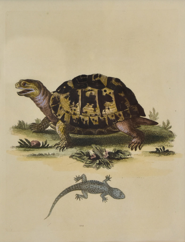 Leopard Tortoise and Wall Gecko: Edwards 1802