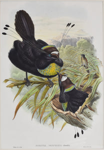 Six-plumed Bird of Paradise: John Gould 1838